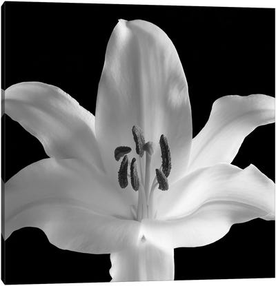 Silent Sensual Lilly, 2006  Canvas Art Print