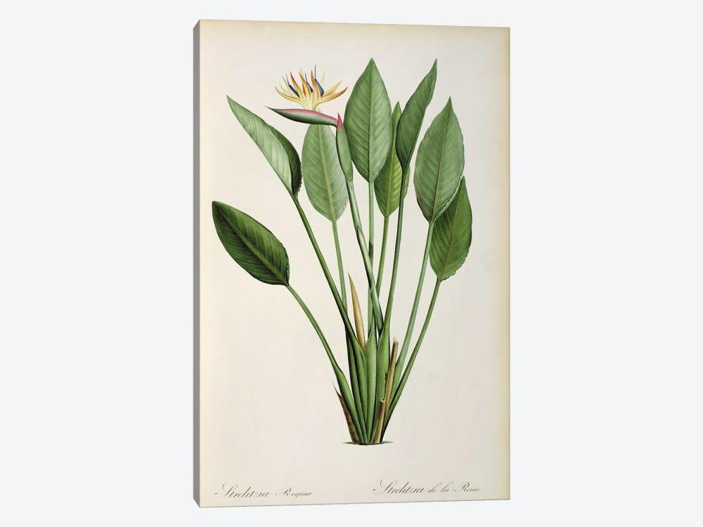 Strelitzia Reginae, from 'Les Strelitziaceae' by Pierre-Joseph Redouté 1-piece Canvas Print