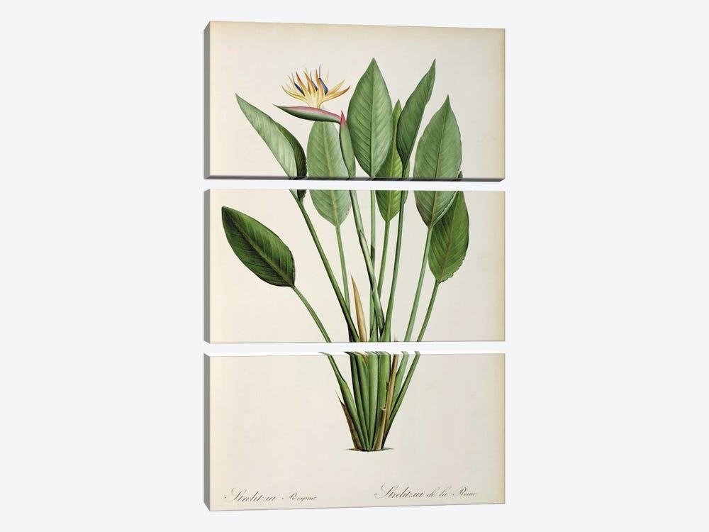 Strelitzia Reginae, from 'Les Strelitziaceae' by Pierre-Joseph Redouté 3-piece Canvas Art Print
