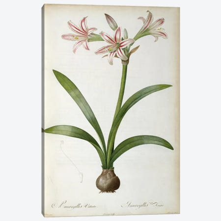 Amaryllis Vittata, from `Les Liliacees' by Pierre Redoute, 8 volumes, published 1805-16 Canvas Print #BMN851} by Pierre-Joseph Redoute Canvas Art Print