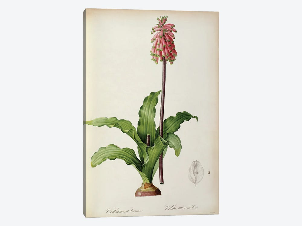 Veltheimia Capensis, from `Les Liliacees', c.1805 by Pierre-Joseph Redoute 1-piece Canvas Art Print