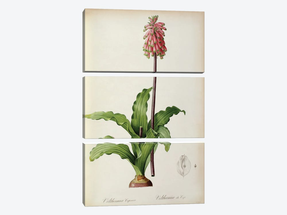 Veltheimia Capensis, from `Les Liliacees', c.1805  by Pierre-Joseph Redoute 3-piece Canvas Art Print