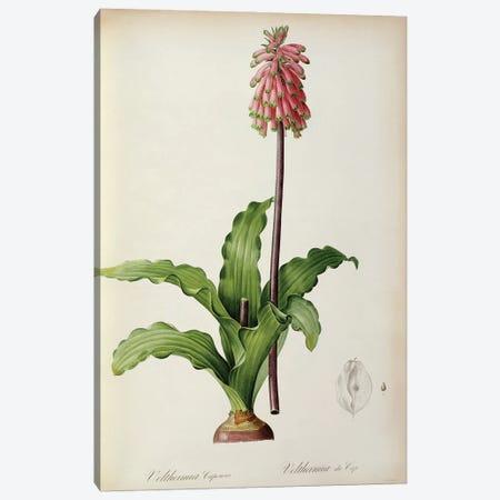 Veltheimia Capensis, from `Les Liliacees', c.1805  Canvas Print #BMN854} by Pierre-Joseph Redouté Canvas Artwork