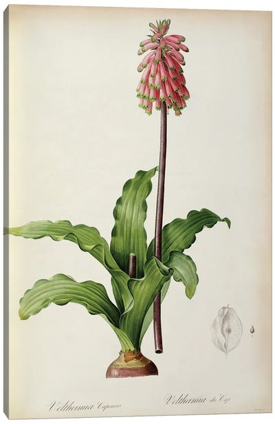 Veltheimia Capensis, from `Les Liliacees', c.1805  Canvas Art Print