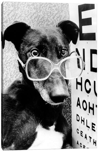 Greyhound Wearing Glasses February 1987 Canvas Art Print