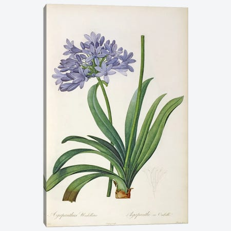 Agapanthus umbrellatus, from `Les Liliacees' by Pierre Redoute, 8 volumes, published 1805-16 Canvas Print #BMN856} by Pierre Redoute Canvas Art