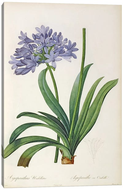 Agapanthus umbrellatus, from `Les Liliacees' by Pierre Redoute, 8 volumes, published 1805-16 Canvas Art Print