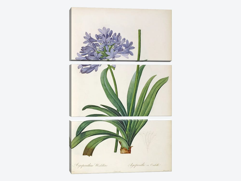 Agapanthus umbrellatus, from `Les Liliacees' by Pierre Redoute, 8 volumes, published 1805-16 by Pierre-Joseph Redoute 3-piece Canvas Print