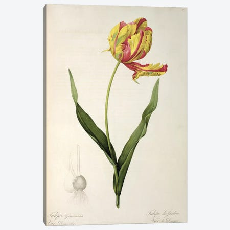 Tulipa gesneriana dracontia, from 'Les Liliacees', 1816  Canvas Print #BMN857} by Pierre Redoute Canvas Artwork