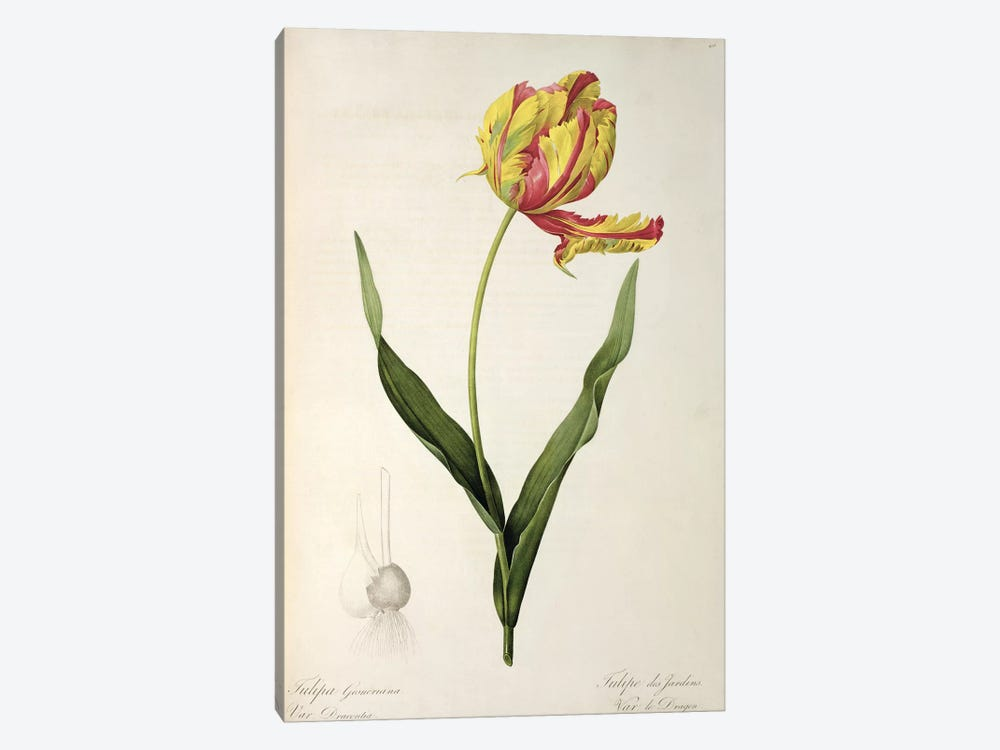 Tulipa gesneriana dracontia, from 'Les Liliacees', 1816 by Pierre-Joseph Redoute 1-piece Canvas Wall Art