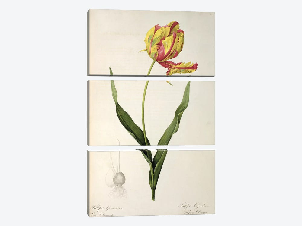 Tulipa gesneriana dracontia, from 'Les Liliacees', 1816 by Pierre-Joseph Redoute 3-piece Canvas Art