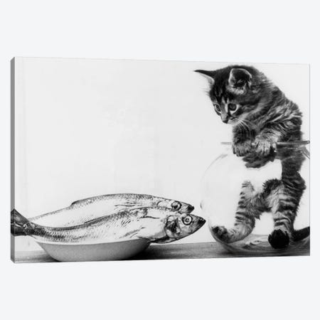 Kitten in an aquarium looking at fishes in a plate, June 26, 1972 Canvas Print #BMN8586} by Rue Des Archives Canvas Wall Art