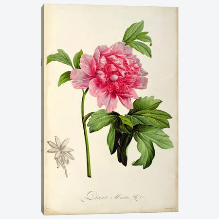 Paeonia Moutan, c.1799  Canvas Print #BMN858} by Pierre-Joseph Redoute Canvas Art Print