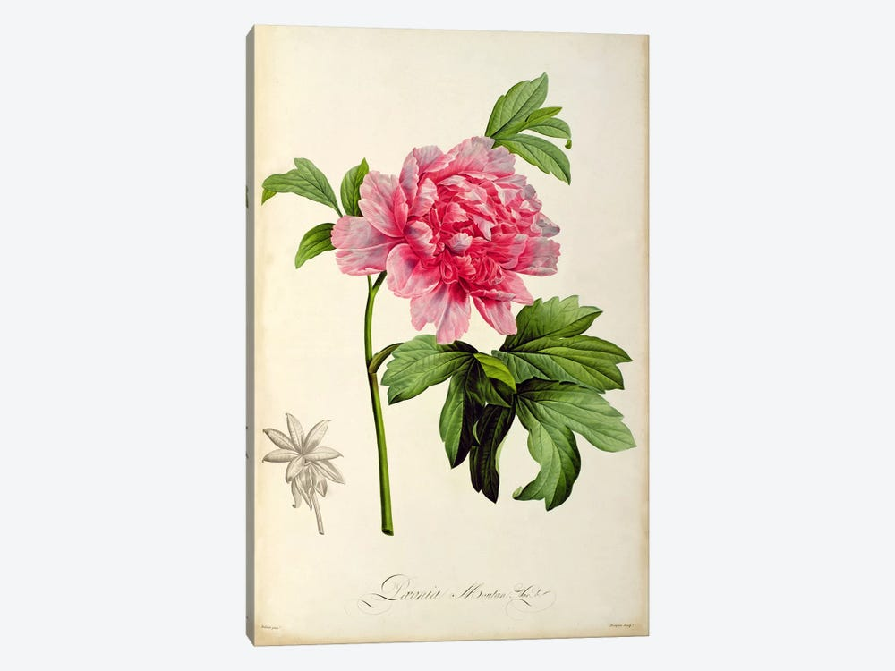 Paeonia Moutan, c.1799 by Pierre-Joseph Redoute 1-piece Canvas Print