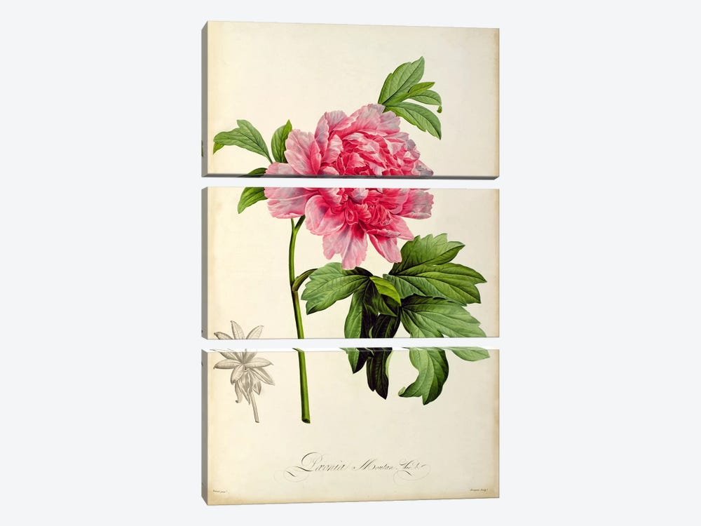 Paeonia Moutan, c.1799 by Pierre-Joseph Redoute 3-piece Canvas Art Print