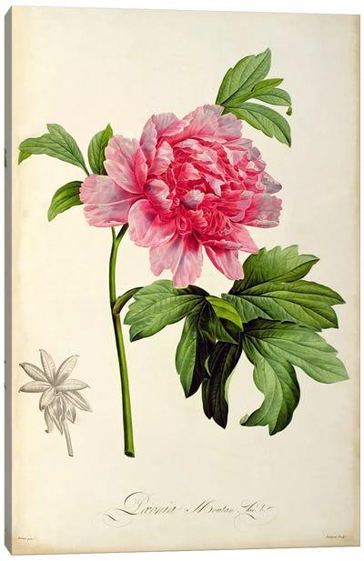 Paeonia Moutan, c.1799  Canvas Art Print