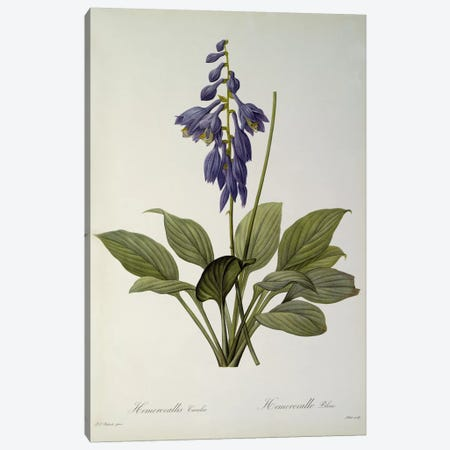 Hemerocallis Caerulea, from `Les Liliacees', 1806  Canvas Print #BMN859} by Pierre-Joseph Redouté Canvas Print