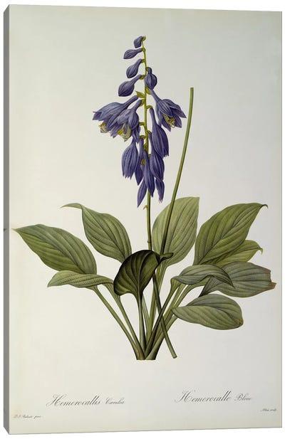 Hemerocallis Caerulea, from `Les Liliacees', 1806  Canvas Art Print