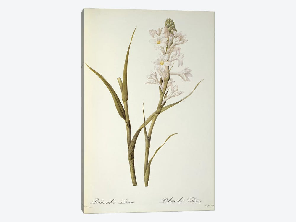 Polianthes Tuberosa, from `Les Liliacees', 1806 by Pierre-Joseph Redoute 1-piece Canvas Print