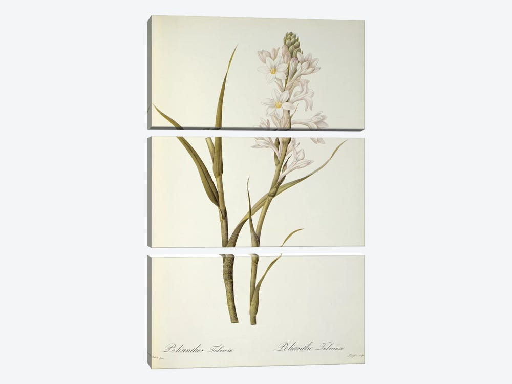 Polianthes Tuberosa, from `Les Liliacees', 1806  by Pierre-Joseph Redoute 3-piece Art Print