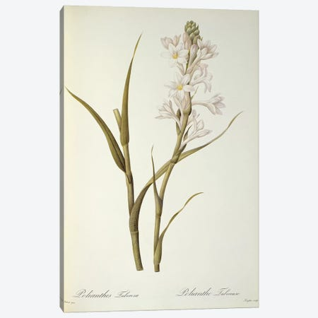Polianthes Tuberosa, from `Les Liliacees', 1806  Canvas Print #BMN861} by Pierre-Joseph Redouté Canvas Artwork