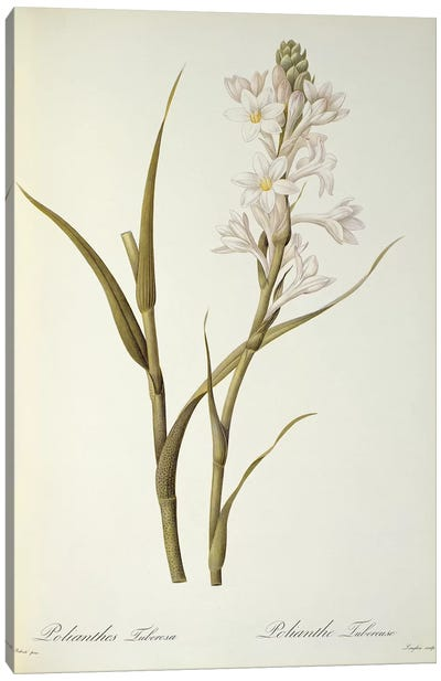 Polianthes Tuberosa, from `Les Liliacees', 1806  Canvas Art Print