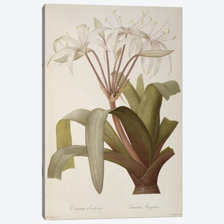 Crinum Erubescens or Crinum Rougeatre, from `Les Liliacees', 1803, published 1805-16  Canvas Print #BMN862} by Pierre-Joseph Redouté Canvas Art
