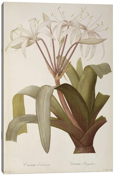 Crinum Erubescens or Crinum Rougeatre, from `Les Liliacees', 1803, published 1805-16  Canvas Art Print