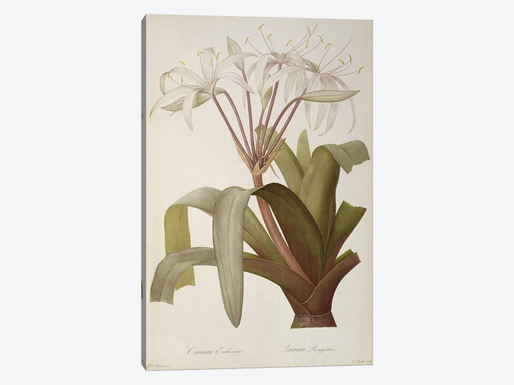 Crinum Erubescens or Crinum Rougeatre, from `Les Liliacees', 1803, published 1805-16 by Pierre-Joseph Redoute 1-piece Canvas Artwork