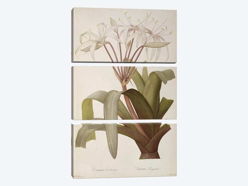 Crinum Erubescens or Crinum Rougeatre, from `Les Liliacees', 1803, published 1805-16 by Pierre-Joseph Redoute 3-piece Canvas Artwork