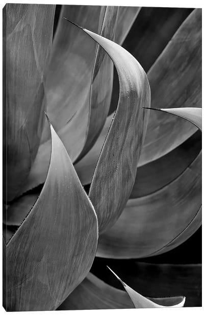 Pasadena Three Leaf Succulant, 2017  Canvas Art Print