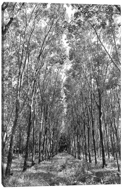 Rubber Trees Of Thailand, 2017  Canvas Art Print
