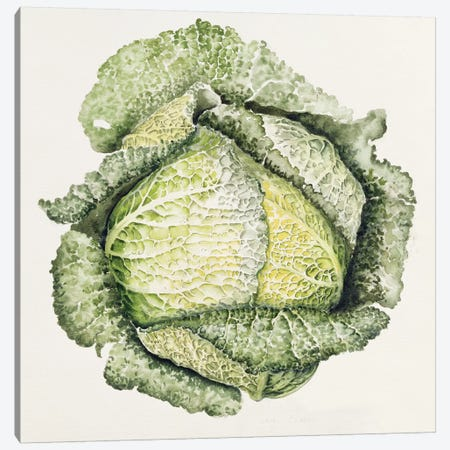 Savoy Cabbage  Canvas Print #BMN8720} by Alison Cooper Canvas Print