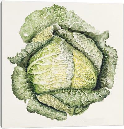 Savoy Cabbage  Canvas Art Print
