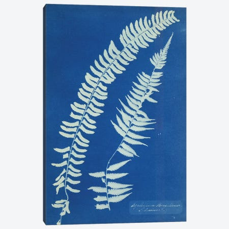 Asplenium Braziliense, South America, c.1850  3-Piece Canvas #BMN8815} by Anna Atkins Canvas Wall Art