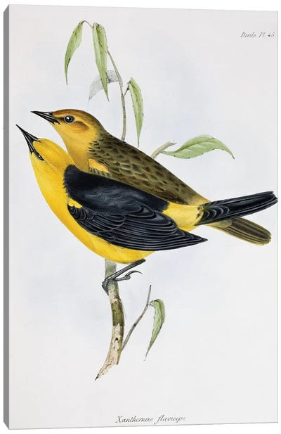Pair of Xanthornus Flaviceps, illustration from 'Zoology of the Voyage of H.M.S. Beagle, 1832-36', by Charles Darwin , 1840 Canvas Art Print