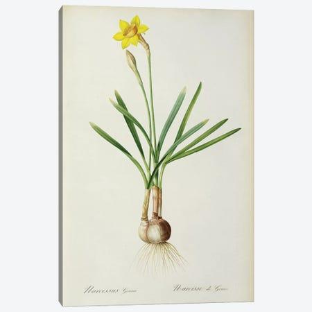 Narcicuss Gouani Canvas Print #BMN9450} by Pierre-Joseph Redouté Canvas Artwork