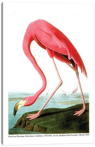 American Flamingo, 1834  Canvas Art Print