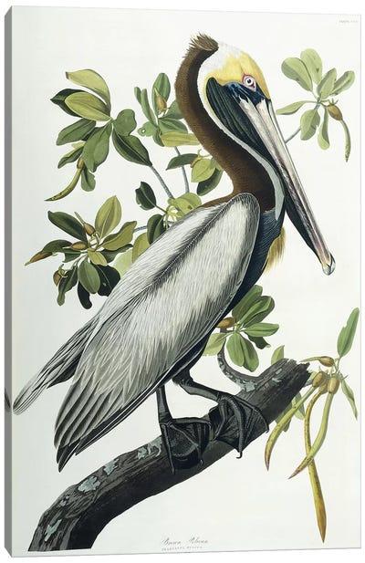 Brown Pelican, 1835  Canvas Art Print