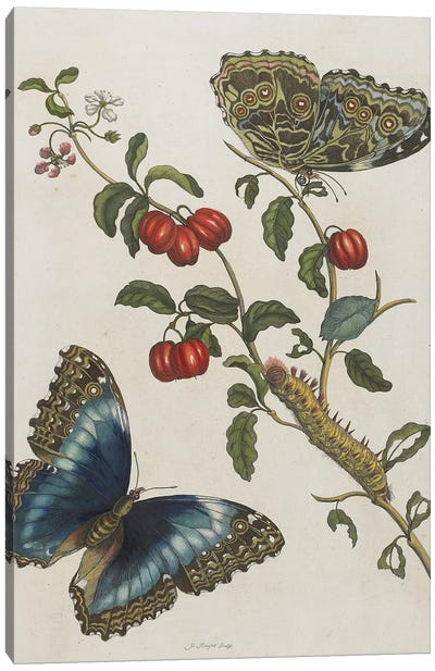 Great Blue Butterflies and Red Fruits, 1705-71  Canvas Art Print