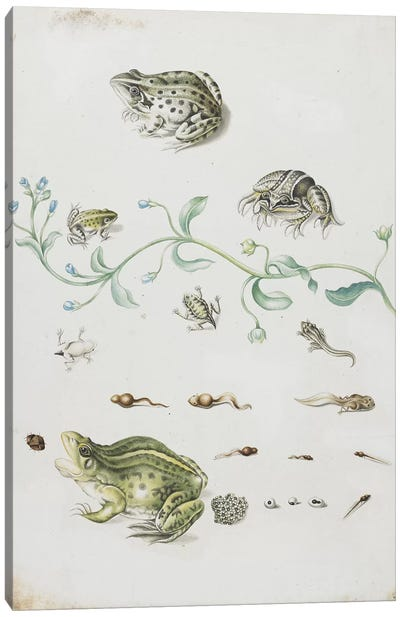 Metamorphosis of a Frog and Blue Flower  Canvas Art Print