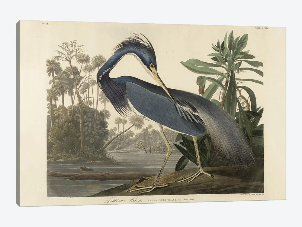 Louisiana Heron, 1834  by Robert the Younger Havell 1-piece Canvas Art Print