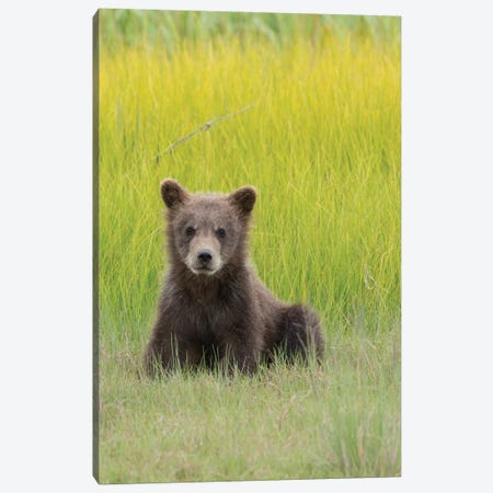 USA, Alaska. Grizzly bear cub sits in a meadow in Lake Clark National Park. Canvas Print #BND14} by Brenda Tharp Canvas Wall Art