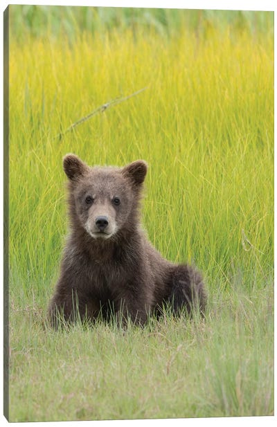USA, Alaska. Grizzly bear cub sits in a meadow in Lake Clark National Park. Canvas Art Print