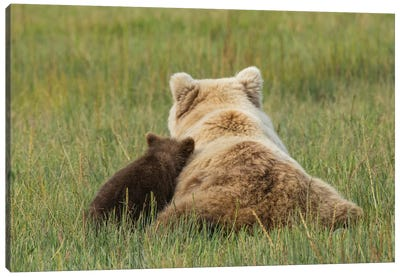 Young coastal grizzly cub leans against its mother . Lake Clark National Park, Alaska. Canvas Art Print