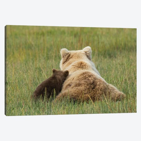 Young coastal grizzly cub leans against its mother . Lake Clark National Park, Alaska. Canvas Print #BND17} by Brenda Tharp Canvas Wall Art