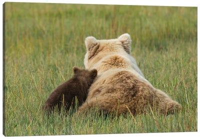 Young coastal grizzly cub leans against its mother . Lake Clark National Park, Alaska. Canvas Art Print