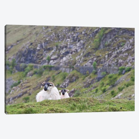 Ireland, County Mayo. Sheep Resting In Rocky Pastures. Canvas Print #BND19} by Brenda Tharp Canvas Art Print