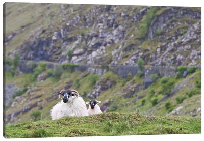 Ireland, County Mayo. Sheep Resting In Rocky Pastures. Canvas Art Print