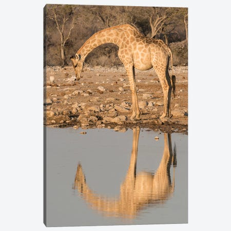 Giraffe Bends Over To Drink At A Waterhole, Reflecting In The Water, In Etosha National Park, Namibia. Canvas Print #BND20} by Brenda Tharp Canvas Art